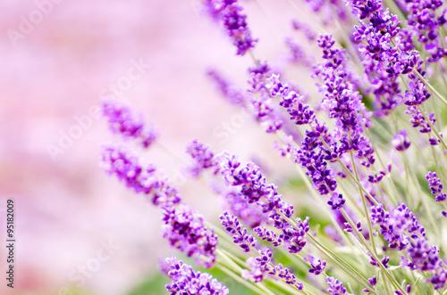 Spoed canvasdoek 2cm dik Lavendel Lavande, Fleur, Champ