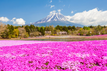 Mountain Fuji and pink moss field in spring season © torsakarin