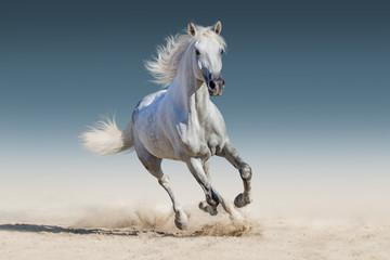 WHite horse run gallop