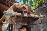 Tame Luwak sitting on temple top - wild viverra living in forests on Bali island, make most expensive coffee in world. Travels in Asia. Indonesian and Balinese wildlife backgrounds and animals theme. poster