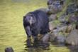 Black Bear (Ursus americanus), Thornton Fish Hatchery, Ucluelet, British Columbia, Canada