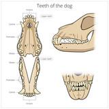 Veterinary vector illustration teeth of the dog