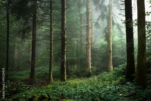 brume  dans un sous bois de sapins - 95329424