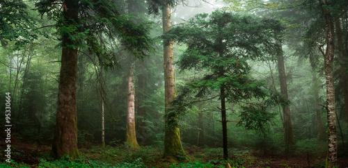 Fototapety, obrazy : petit sapin dans un sous bois