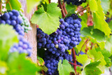 Close-up of vineyards plant