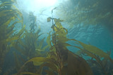 Seaweed kelp forest underwater at California Island reef