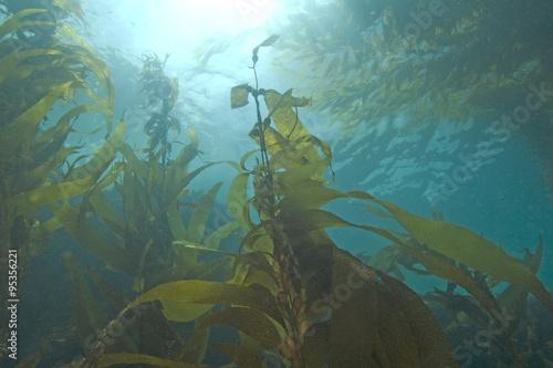 Seaweed kelp forest underwater at California Island reef Poster