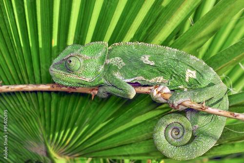 Fotobehang Kameleon green chameleon - Stock Image