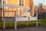 Fototapety golden retriever dog lying down on a bench at sunset