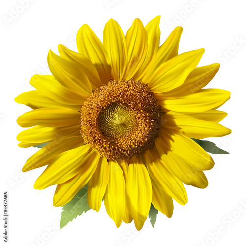 Sunflower - Heliantus. 
