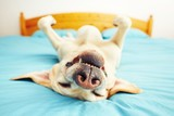 Dog is lying on the bed - Fine Art prints