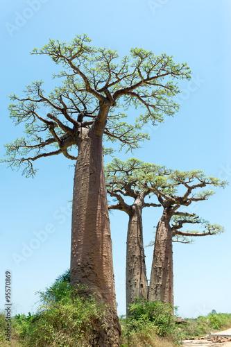 Fotobehang Baobab Baobab Alley - Madagascar
