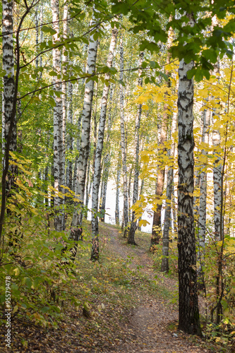brzozowy-gaj-w-jesien-lesie