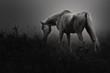 Obrazy na płótnie, fototapety, zdjęcia, fotoobrazy drukowane : モノクロの馬