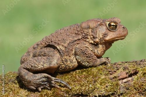 fototapeta na ścianę Female American Toad (Bufo americanus)
