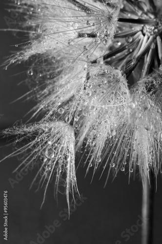 zakonczenie-dandelion-z-kroplami