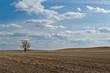 Wheat field with one bare tree in Saskatchewan