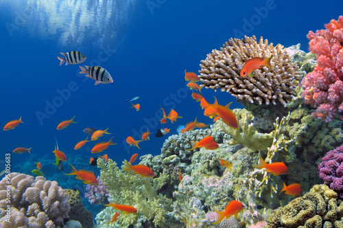 Obraz na Szkle Tropical Fish on Coral Reef in the Red Sea