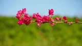 Pink bougainvillea in tropical zone