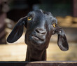 Black goat closeup