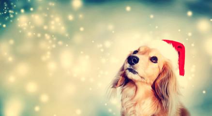 Dachshund dog wearing Santa hat