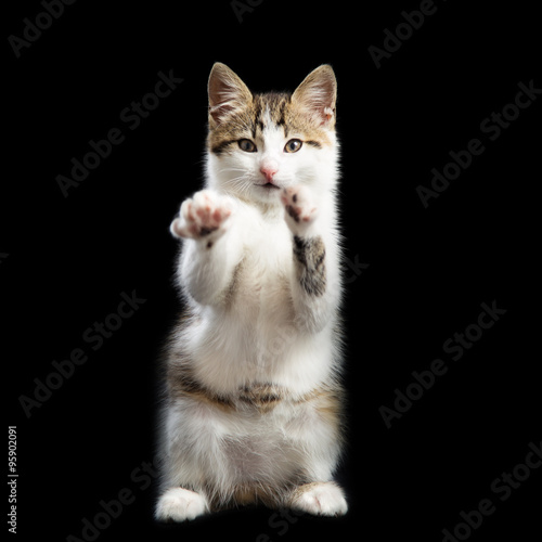 Poster Trained kitten stands on two paws lifting the second paws up