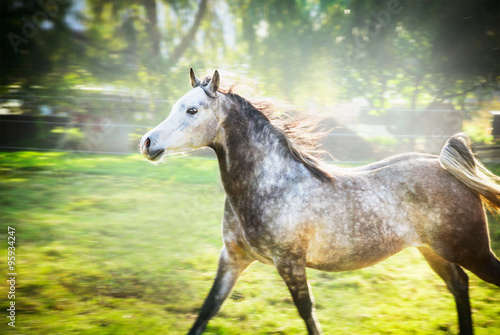 Gray stallion running gallop on summer or spring nature background