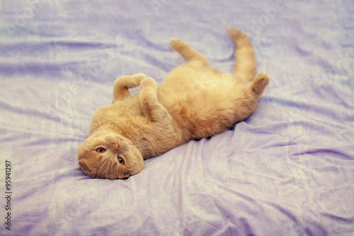 Poster Scottish fold cat lying on her back on a blanket