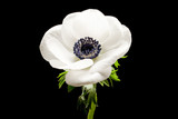 Black and White Anemone Isolated on a Black Background - 95944482