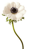 Black and White Anemone Isolated on a White Background - 95944497