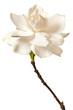 White Gardenia Blossom Isolated