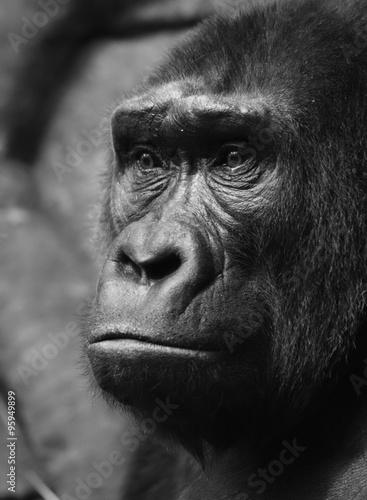 Pensive sad gorilla © Vasily Smirnov