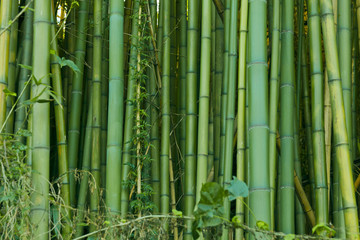 Green bamboo nature background © enjoynz