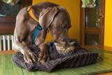 Cane adulto di razza Weimaraner con cucciolo di gatto persiano  tartugato