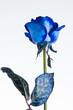 Obrazy na płótnie, fototapety, zdjęcia, fotoobrazy drukowane : Blue rose close up isolated on white