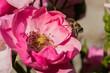 Obrazy na płótnie, fototapety, zdjęcia, fotoobrazy drukowane : Close up of a bee in the pink flower