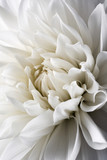 Fototapety white dahlia and light