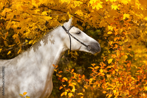 Portrait of beautiful white horse in orange leaves in fall