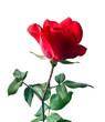 Obrazy na płótnie, fototapety, zdjęcia, fotoobrazy drukowane : Garden rose isolated on white background