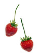 ripe red strawberries with stems and leaves isolated on white ba