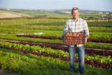 Farmer With Organic Tomato Crop On Farm - 96107629