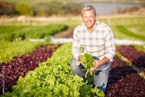 Farmer Harvesting Organic Salad Leaves On Farm