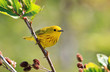 A male Yellow Warbler perching on a branch.   Nova Scotia, Canada