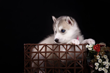 Husky dog puppy one month old in black background