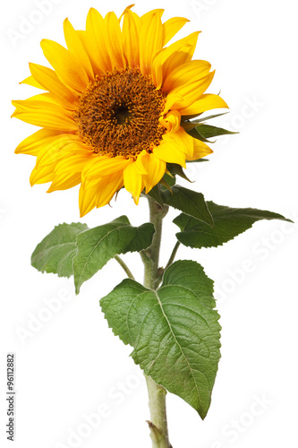 Fototapeta sunflower isolated