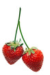 ripe red strawberries with stems and leaves isolated