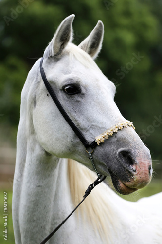 Fototapeta Side view portrait of a purebred young arabian horse