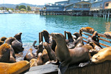 Fototapety colonie de lions de mer