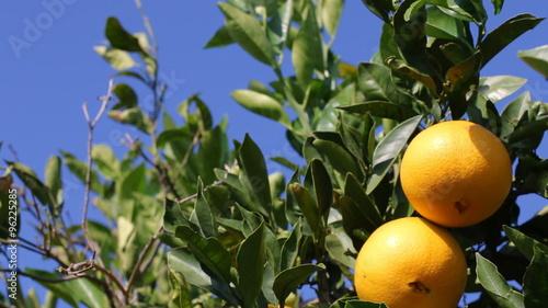 Orange branch with ripe oranges. Oranges growing on tree in  citrus plantation