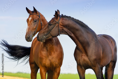 Two beautiful bay horse couple portrait against blue sky canvas